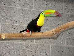 Tracy Aviary - Keel-billed Toucan (fkalltheway) Tags: utah toucan saltlakecity aviary keelbilledtoucan libertypark tracyaviary fkalltheway southamericanpavilion
