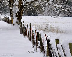 Snowy Cow Pasture Fence (Explored) (misst.shs) Tags: snow tree field fence nikon explore cottonwood hff fench d90 explored fencefriday ~~fencefriday~~ fridayfence