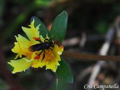 Colhendo o Néctar - Arapuá (Cris Campanella) Tags: brazil flower brasil garden insect nikon sãopaulo natureza flor inseto jardim guarujá baixada d90 santista arapuá criscampanella