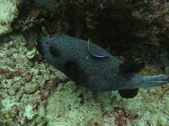 fish scuba puffer maldives fihalhohi