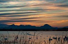 Tundra Swans and Sutter Buttes (sierrasylvan) Tags: california sunset mountains bird water canon duck ricefields canoneosdigitalrebelxt sutterbuttes tundraswan thegalaxy yubacounty canonef70300mmf456isusmlens mygearandme ringexcellence flickrstruereflection1 rememberthatmomentlevel1