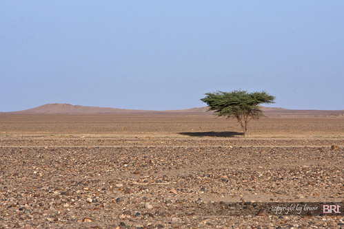 lonely_tree_in_sahara_desert