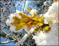 Snowy Leaf (Cat-Art) Tags: winter snow snowyleaf catart~catrionashatwell catrionashatwell~northernireland catart~northernireland catrionashatwell~catart~ireland wwwdoublevisionimageswebscom