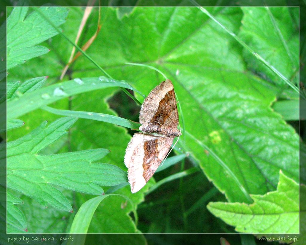 Carpet moth in the vegetation