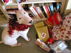 Are these for me too? (danellemac) Tags: christmas uk england dog london love lily christmascards happyholidays bullterrier truelove jesuschrist englishbullterrier seasonsgreetings festiveseason