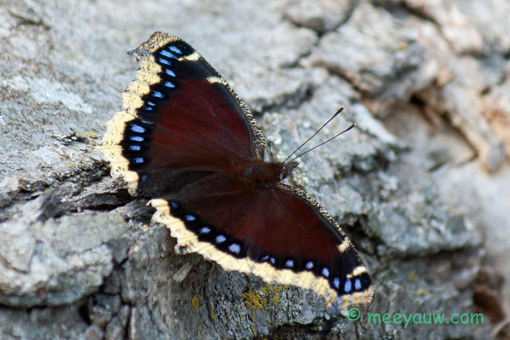 mourning cloak butterfly   06.jpg