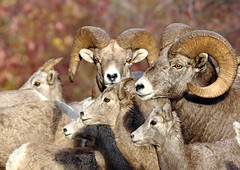 There's One in Every Crowd (Deby Dixon) Tags: nature nikon montana sheep wildlife rams deby allrightsreserved 2010 bighornsheep bighorns naturephotographer debydixon debydixonphotography