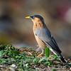 เอี้ยงพราหมณ์ Brahminy Starling (somchai@2008) Tags: brahminystarling temenuchuspagodarum sturnuspagodarum thewonderfulworldofbirds sturniapagodarum qualitygold เอี้ยงพราหมณ์