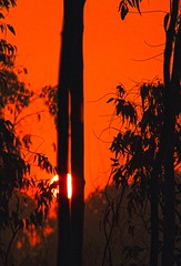Sun Rise at Heritage [   - ] EXPLORED # 46] (HamimCHOWDHURY  [Active 01 Feb 2016 ]) Tags: life light shadow red portrait blackandwhite sun white black green nature sunrise canon eos twilight colorful faces blu sony surreal excellent eucalyptus dhaka vaio rgb hobigonj bangladesh dlsr 60d rubbergarden rubbercultivation framebangladesh rubberplan digombor dawanbari marufdeawan 721824122010595036 saguntig