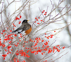 Well Fed (btn1131) Tags: winter nature robin birds animals sony a33 di tamron 18200 xr slt