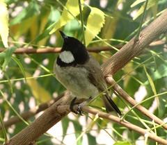 White-cheeked Bulbul (tom_2014) Tags: park bird birds dubai wildlife uae perch unitedarabemirates bulbul passerine pycnonotusleucotis pycnonotus creekpark whitecheekedbulbul leucotis