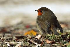 rockin' robin ({katesea}) Tags: winter lake cold cute robin frozen feathers fluffy europeanrobin redbreast d90 nikond90