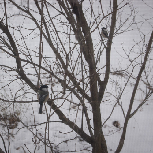 7:365 Chickadees