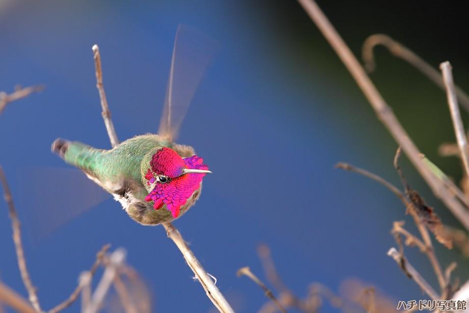 Anna's Hummingbird 123010-3