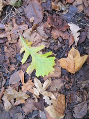 oaks and maples (birchloki) Tags: trees light ohio tree nature leaves forest outdoors leaf woods botany forests edon edonohio