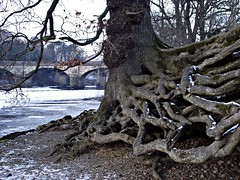 Holding on (Lune Rambler) Tags: old bridge trees winter cold tree nature beauty river natural roots endurance riverlune lunevalley oltusfotos lunerambler tripleniceshot