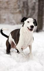 Chasing Life's Snowflakes (Deby Dixon) Tags: winter dog snow outdoors happy photography snowflakes washington nikon action canine snowing deby allrightsreserved 2010 elsalto runninginthesnow debydixon 85mmƒ14 debydixonphotography workingonthisshotforalongtime