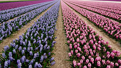 Flowaaa powaaa !! (pas le matin) Tags: pink holland color netherlands colors field lines rose purple couleurs perspective violet paysbas jacinthes couleur hyacinth champ lignes hollande flowerfield champdefleur