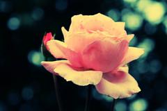 Que seja eterno enquanto dure   (Nay Hoffmann) Tags: parque red flores verde green sol colors yellow gua azul de agua you laranja flor rosa vermelho amarelo pato criana reflexo riograndedosul passaro canela colorido corderosaplantacaulefolhaamorsutileza