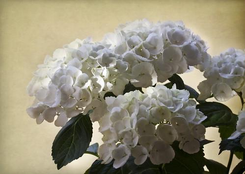 フリー写真素材, 花・植物, アジサイ科, 紫陽花・アジサイ, 白色の花,
