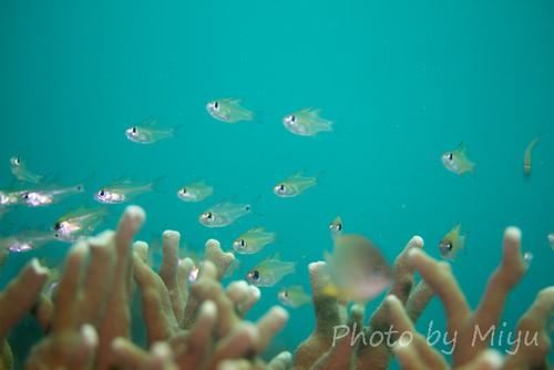 Slender Cardinalfish