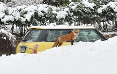 Fox And Mini-Cooper (caboose_rodeo) Tags: winter favorite snow animal critter fox 326