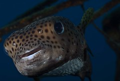 Black spotted Porcupinefish