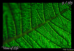 009 - 365 - Veins of Life (ronny..) Tags: inspiration detail green nature leaf groen bright patterns natuur blad creation veins 365 complex leven inspiratie ader patroon awing schepping project365 veinsoflife aderen threesixtyfive project36612011 2011yip 3652011 2011inphotos threehunderdsixtyfive droptheshutter
