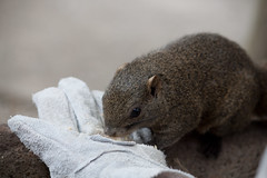 IMG_6773 (FreakSQuirreL) Tags: squirrel  gifu gifucastle