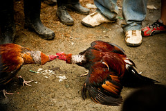 Wheres Your Head at - cockfight (www.julkastro.co) Tags: people news birds animal rural real colombia south report culture photojournalism traditions folklore professional document gathering andes pro sur info tradition cultura journalism struggle abuse cockfight tradicion reportero folclor julkastro wwwjulkastroco julkastrohotmailcom