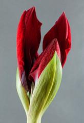 Amaryllis 248/365 (le cabri) Tags: red flower macro green amaryllis strobist blosomming