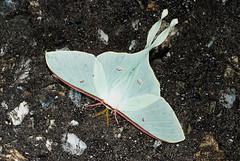 美麗的姬長尾水青蛾,目前僅知產於台灣中高海拔山區。攝影:施禮正。