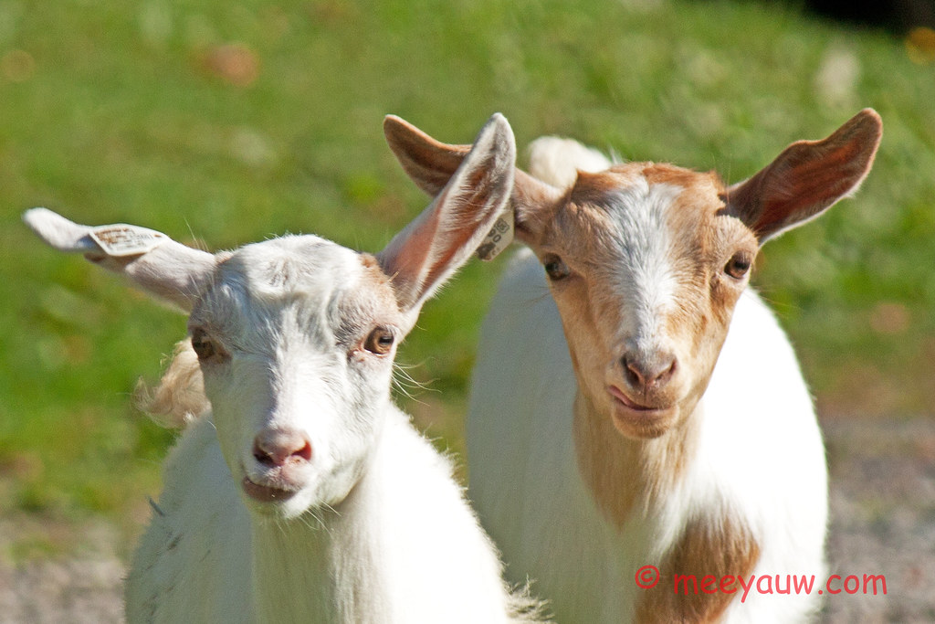 Barton Village Goats04.jpg