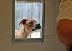 020/365 - Learning (Aidras) Tags: door dog cute love animal puppy 50mm pretty lily bulldog boxer 365 pup 2011 dogdoor apicaday bulloxer 3652011