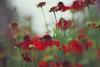 feel life (In Memory Lane~) Tags: flowers summer kewgardens london nature mark ii 5d 135mm 135l