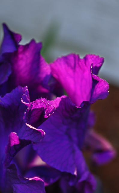 Iris germanica (4)