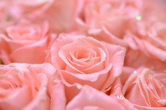 Pink roses (Mikhail Zhidko) Tags: pink blue wedding red roses love nikon nikkor d5100