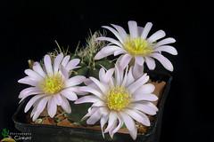 Echinocereus knippelianus (clement_peiffer) Tags: echinocereus knippelianus d7100 105mm nikon cactus fleurs flower cactaceae succulent flowerscolors