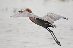 Reddish Ergret is Flight (rivadock4) Tags: texas padreisland egret reddishegret bif flight storm