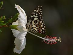 Camera shy...[Olympus E520] [ Olympus Zuiko 70 300] (Mayur Kotlikar) Tags: white flower macro closeup butterfly olympus hibiscus e 300 70 zuiko 520