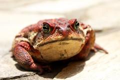 [フリー画像] 動物, 両生類, カエル, 201012030500
