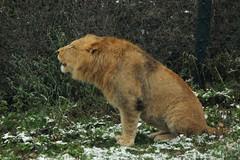 panthera leo (Joachim S. Mller) Tags: animal cat germany mammal deutschland zoo leo lion katze wuppertal nordrheinwestfalen tier lwe panthera northrhinewestphalia pantheraleo sugetier zoowuppertal groskatze tamronaf18270mmf3563