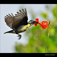 FEAST ON THE FLY ! (Rahul Rallan) Tags: anawesomeshot