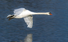 Swan  Flight Pano (Andrew H Wildlife Images) Tags: bird nature swan flight coventry warwickshire brandonmarsh canon7d ajh2008
