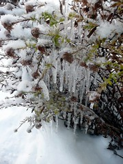 icicles (daphneann) Tags: snow cold ice garden bush icicles december2010