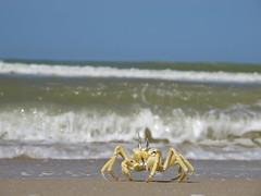 Crab Krabbe Krebs Langue de Barbarie Natur Nature Senegal (hn.) Tags: ocean africa sea copyright beach nature anim
