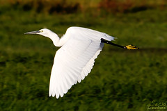 (saeid.goodarzi) Tags: bird heron nature canon nice asia iran flight  esfahan isfahan   zayanderood  canonefs55250mmf456is eos1000d