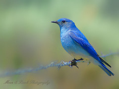 Bluebird of Happiness (Aspenbreeze) Tags: blue moon color bird nature animal outdoors photography back colorado wildlife ngc wildanimal aviary bluebird naturesfinest mountainbluebird thegalaxy specanimal colorphotoaward saariysqualitypictures bestcapturesaoi aspenbreeze mygearandmepremium mygearandmebronze mygearandmesilver aboveandbeyondlevel1 blinksuperstars aboveandbeyondlevel2 aboveandbeyondlevel3 gpsetest