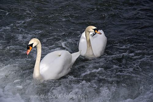 Los Cisnes del Agasejo