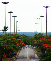 Welcoming Committee (osvaldoeaf) Tags: road city trip travel flowers trees light red brazil sky urban sun tree nature grass skyline clouds speed fence landscape drive strada path horizon blossoms estrada journey freeway cerrado flamboyant goinia gois poinciana